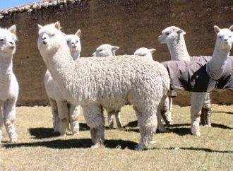 Pitti Filati, tra gli stand anche l'alpaca peruviana