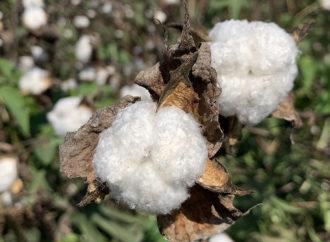 Cottonforlife tra tavole rotonde e raccolte